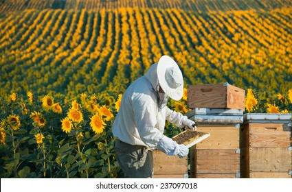 Beekeeper working in the field of sunflowers