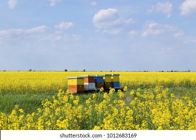 Beekeeping in blossoming canola field during spring