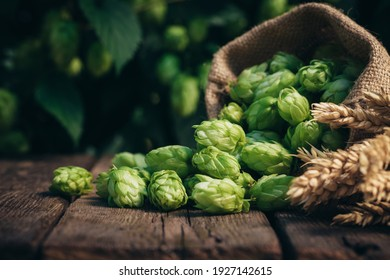 Beer brewing ingredients, hops, and wheat ears on a wooden cracked old table in front of hops plantation. Beer brewery concept. Wheat ears and hop cones in the linen sack in the foreground.