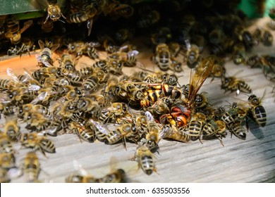 Bees attacked by hornets at the hive. Bee killer hornet . Apiculture