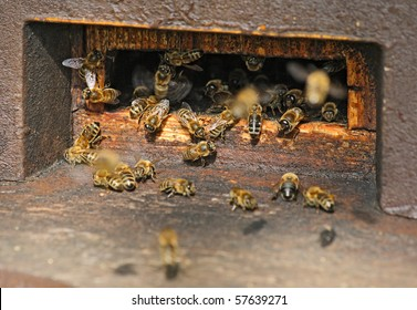 the bees at a beehive