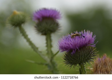 Bees and bugs on Flower Burdock