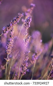 Bees buzzing in the blossoming lavender field, summer sunset photo, Provence, south France, close up view