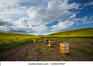 Bees in Canola Field, bee hive image