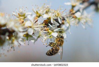 The bees collect pollen from the flowers of the flowering trees