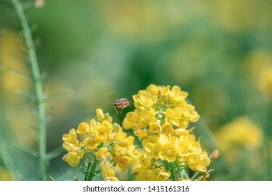 Bees collecting honey in rapeseed