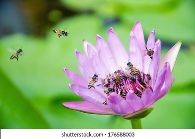 Bees collecting honey and violet lotus