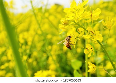 Bees collecting nectar in a yellow rape field