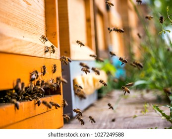 bees coming home with nectar