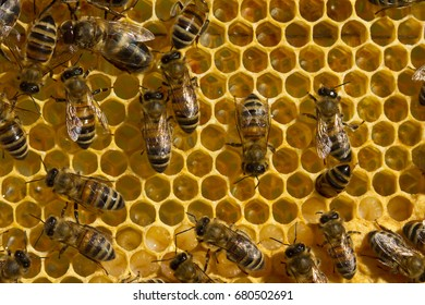 Bees convert nectar into honey and care for larvae