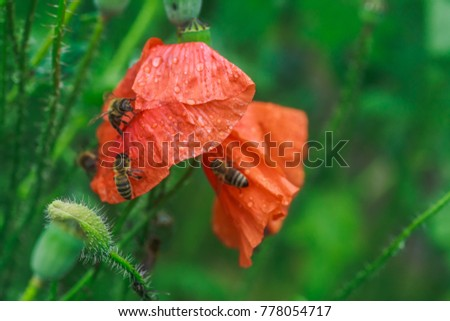 Bees Drink Water Poppies After Rain Stock Photo Edit Now 778054717