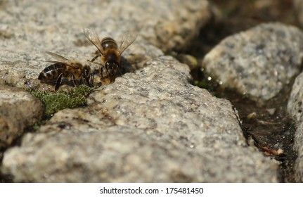 Bees drinking water in the summer