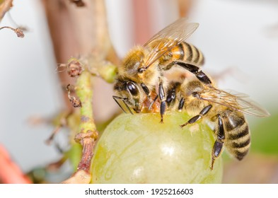 Bees eat ripe green grapes in the garden outdoor.
