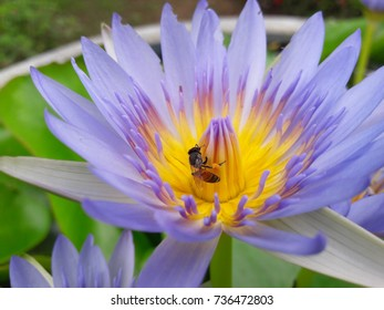 Bees eating lotus flowers stock photo edit now 736224106 bees are eating the lotus flowers mightylinksfo