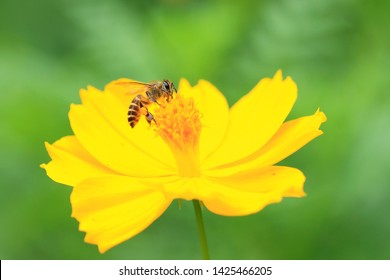 Bees are eating nectar from yellow flowers.  In the morning  On a green background