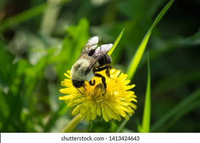 Bees eating and pollinating dandylions