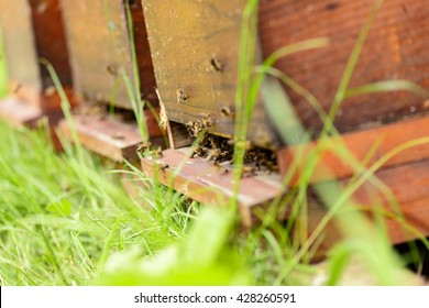 Bees in the entrance hole of their hive