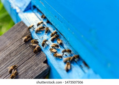 Bees at the entrance to old hive. Bees are returning from honey collection to blue hive. Wooden hive stands on the green grass close-up.