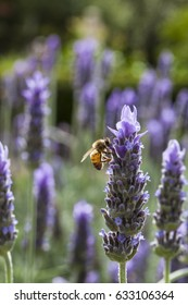 Bees feeding from French lavender in scented gardens