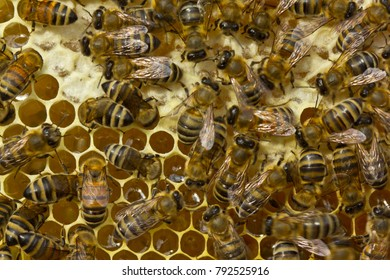 Bees fill honeycomb with nectar, which is then converted into honey.
