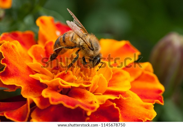 Bees Flowers Environment Protection Diversity Stock Photo
