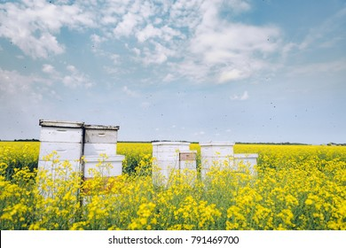 Bees flying around beehives in the middle of idyllic canola / rapeseed field in summer