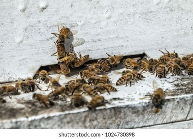 bees flying back in hive after a harvest period, Thailand.