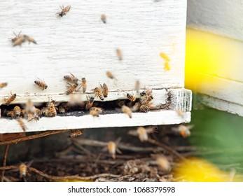 Bees flying at  hive entrance. close up