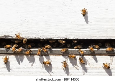 Bees flying and taking off from a beehive.Close up