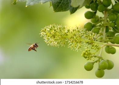 Bees flying in the vineyard