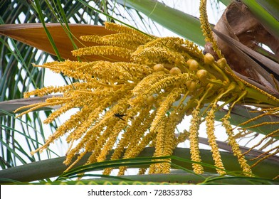 Bees are foraging of pollen from coconut. The results are out. Flower of coconut.