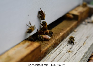 The bees at front hive entrance macro close up. Bee flying to hive. Honey bee entering the hive. Hives in an apiary with working bees flying to the landing boards in South Jordan, Utah.