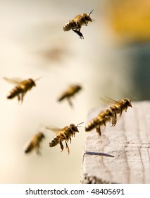 Bees full of pollen in flight, come back in a beehive