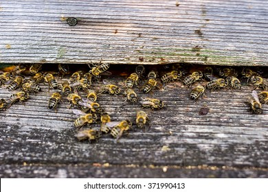 Bees are going in and out of their beehive