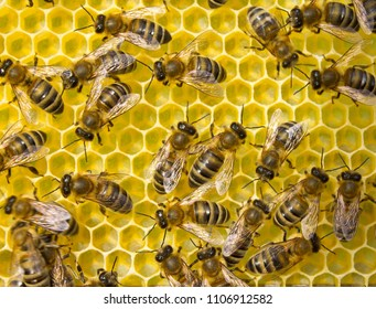 Bees are good artisans. The cells they create have the same dimensions.