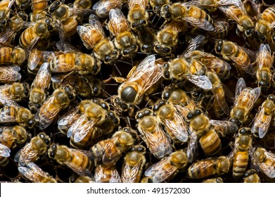 Bees inside a beehive with the queen bee in the middle,Queen bee at the center of the image is larger than the other bees.