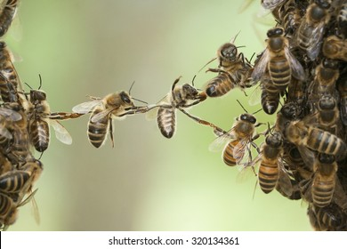Bees making a chain to combine two bee swarm parts in one. Teamwork of bees bridging the gap. Behavior of bees.
