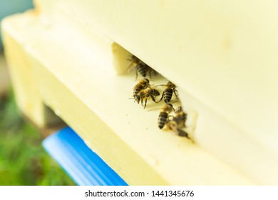 Bees at old hive entrance. Bees returning from honey collection to yellow hive. Bees at entrance. bees return to beehive after honeyflow. Copy space