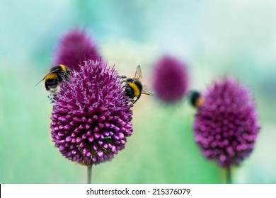 Bees on Allium sphaerocephalon.  Allium Drumstick, also known as sphaerocephalon, produces two-toned, Burgundy-Green flower heads.  The flowers open green, then start to turn purple.