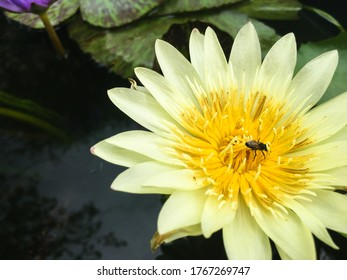 The bees on a beautiful yellow lotus flower with green leaves in the pool