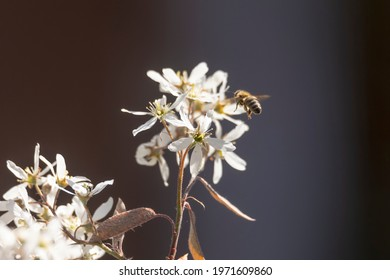 Bees on the flowers of a weeping pear