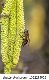 bees on hazel flowers in spring