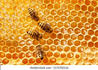 Bienen auf Honigwabenrüben.