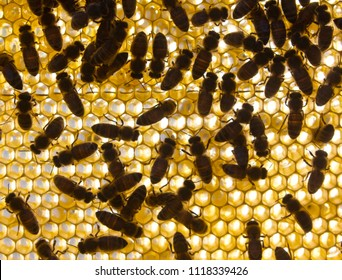 Bees on honeycomb extracted from the hive behave alarmingly.