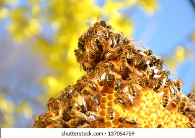 Bees on honeycomb frame against blue sky in the springtime