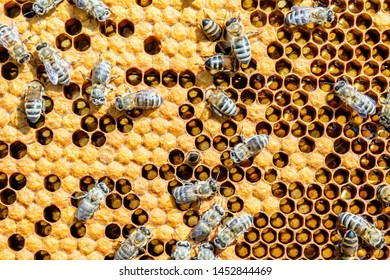 Bees on honeycomb with sealed brood