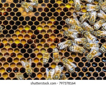 Bees on a wax frame with multicolored pollen stored in the frame cells.