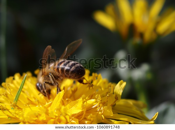 bees and pollen on yellow flowers