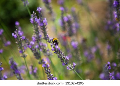 Bees pollinating in a field of lavender