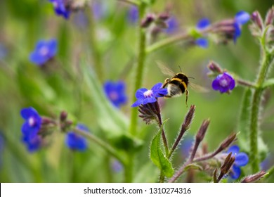 Bees pollinating Italian Bugloss in Spain